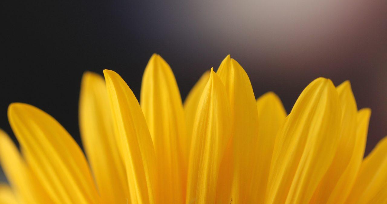 Petalos de color amarillo
